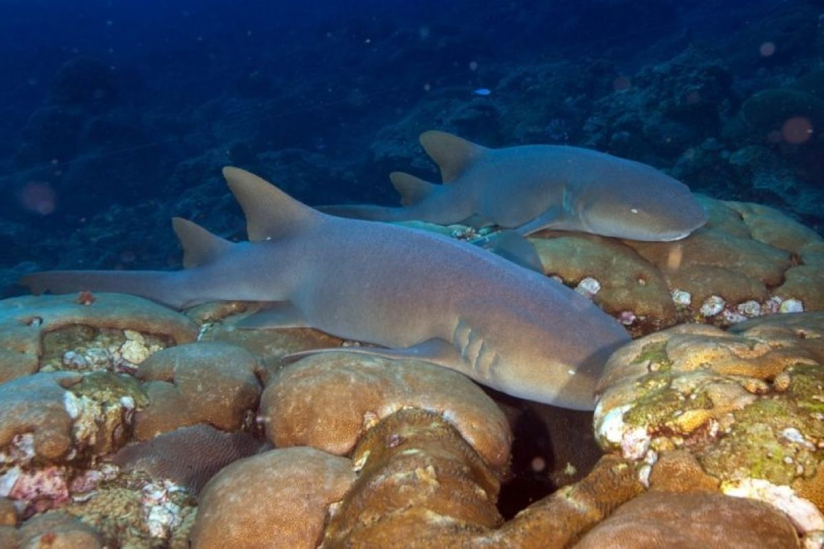 Prefieren vivir cerca del fondo marino en las aguas cálidas y poco profundas del Atlántico occidental y del Pacífico oriental. Foto:pixabay.com