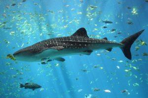Los gigantescos y dóciles tiburones ballena son filtradores y nadan con la boca abierta para capturar plancton y pequeños peces. Foto:Wikipedia commons