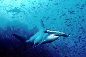 Los tiburones martillo son cazadores agresivos. Se alimentan de peces pequeños, pulpos, calamares y crustáceos. Foto:Wikipedia.org