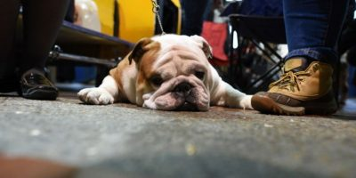Los perros más tiernos de la exposición canina Westminster Kennel Club 2016