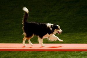 En otra prueba, los perros tuvieron que elegir entre una porción mayor o menor de alimentos Foto:Getty