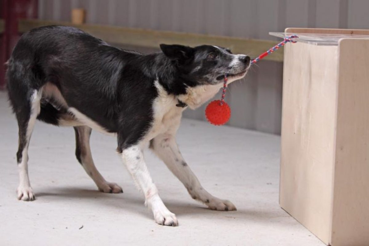 Los perros estudiados tuvieron que encontrar una recompensa de comida visible colocada detrás de una barrera Foto:Angela Driscoll/Kinloch Sheepdogs