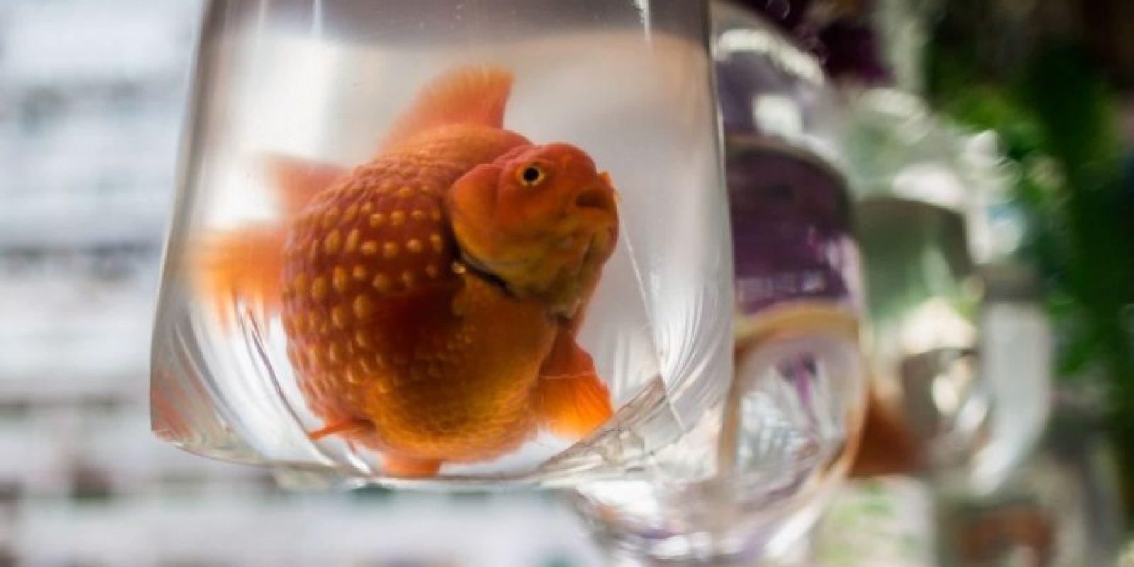 Un pez dorado en una bolsa, en un mercado de Hong Kong. Foto:AFP
