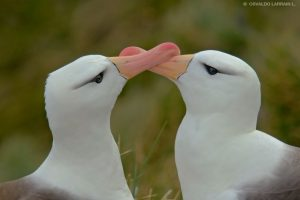 Albatros Foto:Agencias