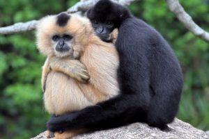 Gibbons Foto:Agencias