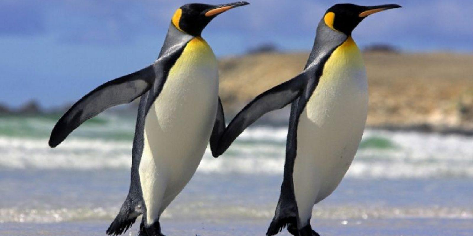 Pingünos Foto:Agencias