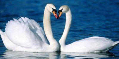 Cisne blanco Foto:Agencias
