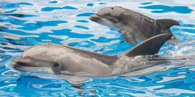 Los navegantes consideraban de buen augurio encontrar delfines en el mar. Foto:Getty Images