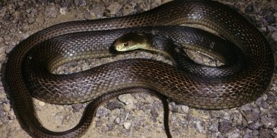 La serpiente Taipan es de origen australiano Foto:Wikipedia.org