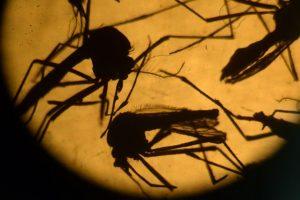 Un científico muestra un recipiente con mosquitos Aedes Aegypti, transmisores de enfermedades. Foto:AFP