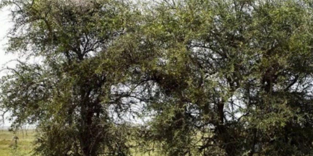 Desafío visual: ¿Pueden encontrar al leopardo escondido en esta foto?