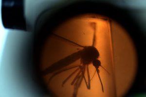 Un mosquito Aedes Aegypti, transmisor del Zika, visto desde un microscopio. Foto:AFP