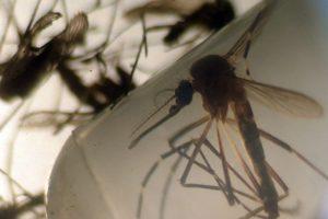 Mosquitos transmisores de enfermedades son examinados por especialistas. Foto:AFP