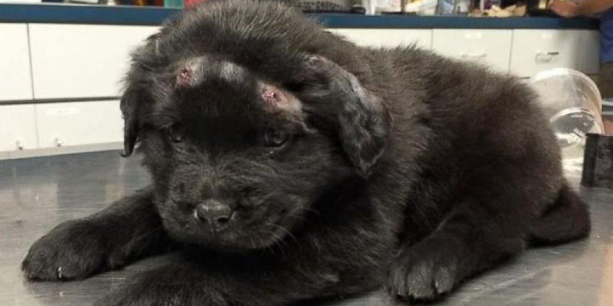¡Impactantes imágenes! Cachorro sobrevivió a 18 impactos