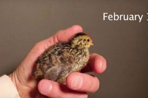 Una codorniz nació de un huevo comprado en el supermercado. Foto:YouTube