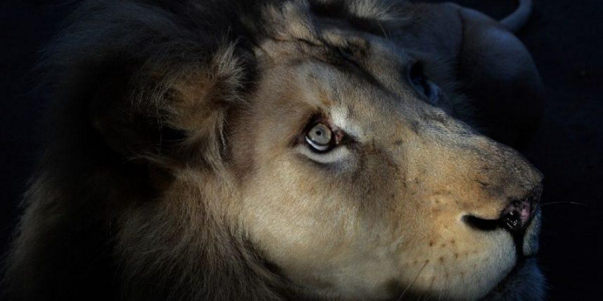 Sacrifican a león blanco que escapó de zoológico en Canadá