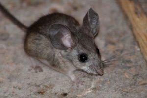 Este es un ratón, captado en la Tierra Foto:Wikimedia.org