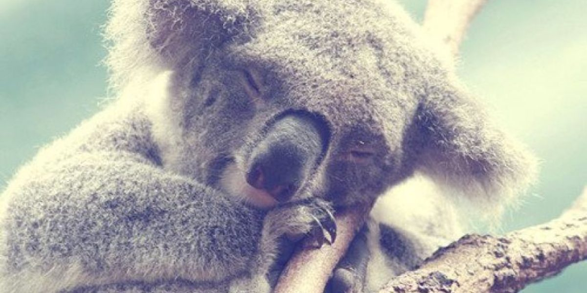 Koala detiene a ciclistas para beber agua
