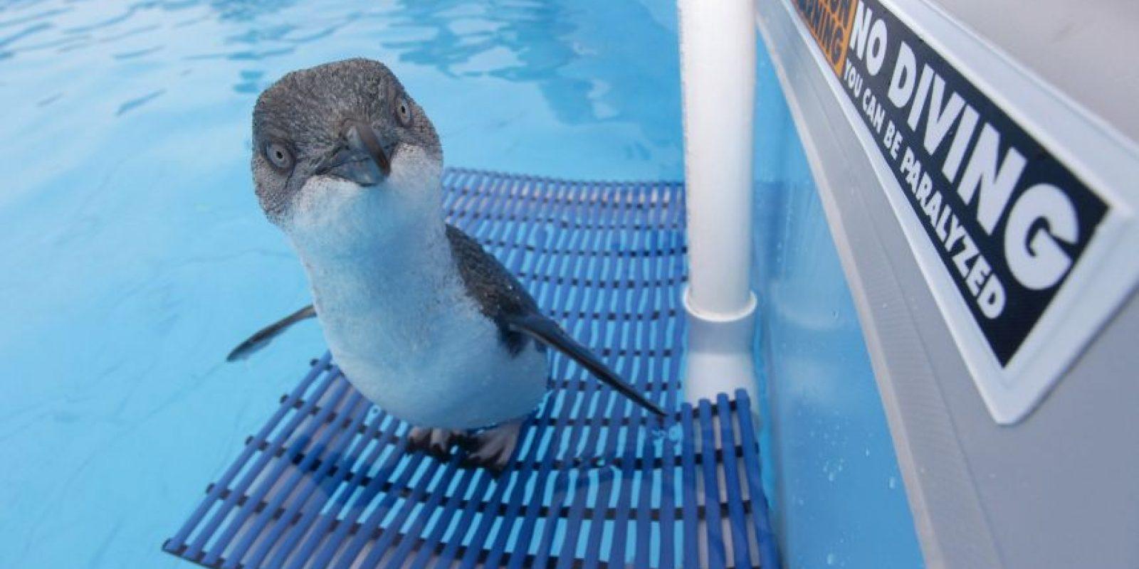 Datos que deben de conocer sobre los pingüinos Foto:Getty Images