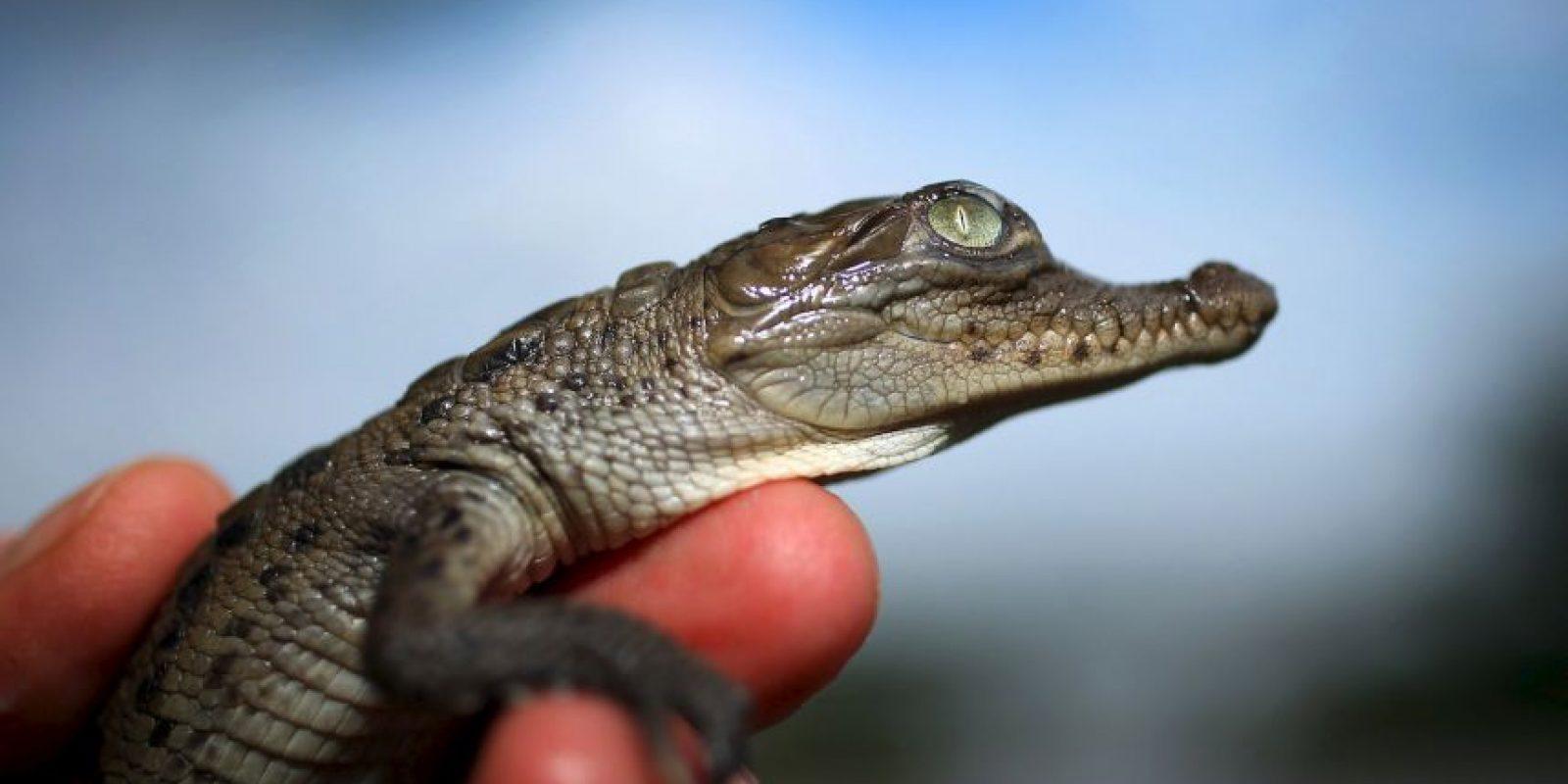 Los cocodrilos tienden a congregarse en hábitats de agua dulce como ríos, lagos, humedales Foto:Getty Images