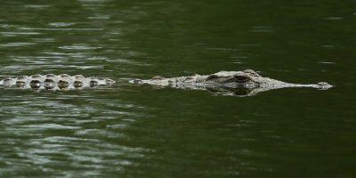 Los cocodriles son una familia de reptiles semiacuáticos. Foto:Getty Images