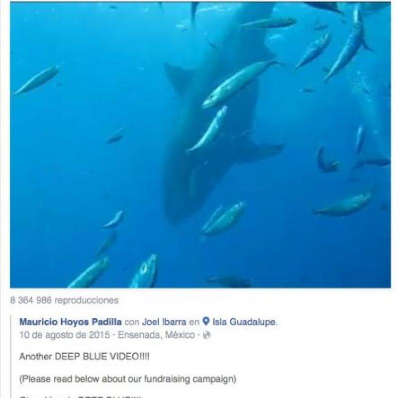 Este tiburón blanco llamó la atención luego de que el experto en su especie Mauricio Hoyos Padilla, lo publicara en la red social. Foto:Vía Facebook.com/amaukua