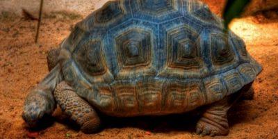Tortuga gigante de Gran Canaria Foto:Flickr