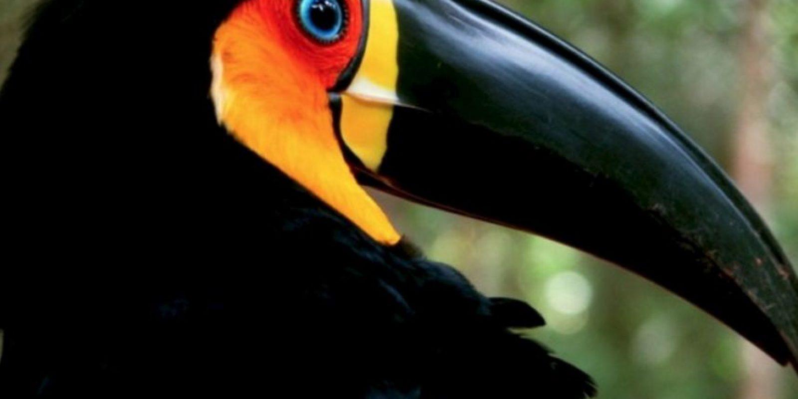 Pelícano Foto:Wikimedia