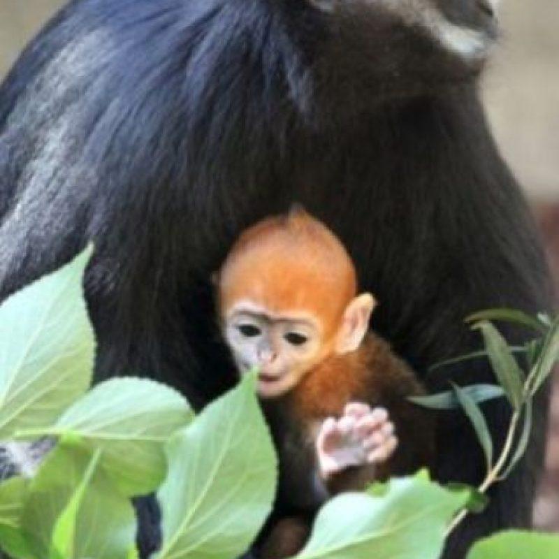 Es hijo de Meili, quien en 2011 dio a luz otro mono naranja en el Zoológico Taronga en Australia. Foto:Vía Facebook.com/tarongazoo