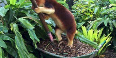 Es de color café naranja y por lo general se pasan en los árboles. Foto:Vía Facebook.com/tarongazoo