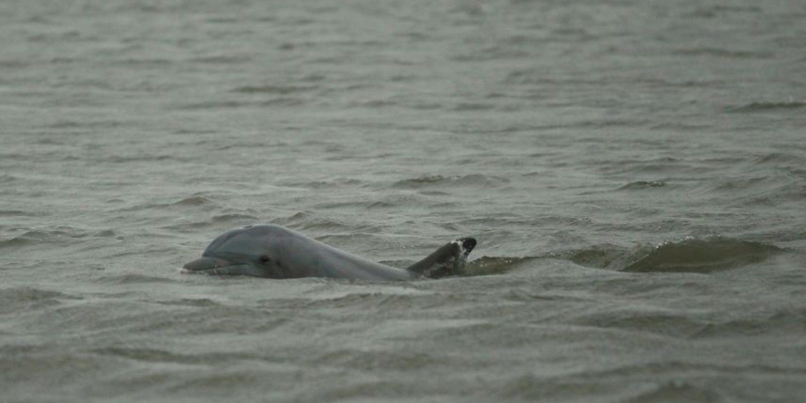 Aunque cuentan con un gran oído y una buena capacidad de visión, los delfines carecen totalmente del sentido del olfato Foto:Getty Images