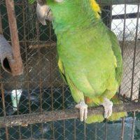 Loro nuca amarilla (amazona ochrocephala auropalliata). Foto:Conap