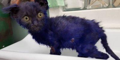 """""""Pitufo"""" fue rescatado cuando tenía solo dos meses, por la fundación Nines Lives. Foto:Vía facebook.com/NineLivesFoundation"""