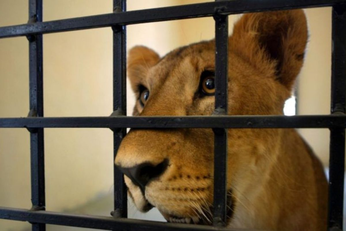 "Animal Defenders International (ADI) rescató a 33 leones que eran obligados a ""actuar"" en circos ilegales de Perú y Colombia. Foto: Getty Images"