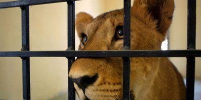 """Animal Defenders International (ADI) rescató a 33 leones que eran obligados a """"actuar"""" en circos ilegales de Perú y Colombia. Foto:Getty Images"""
