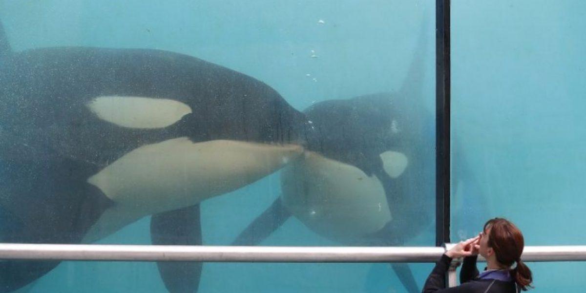 SeaWorld anuncia que dejará de criar orcas (2016)