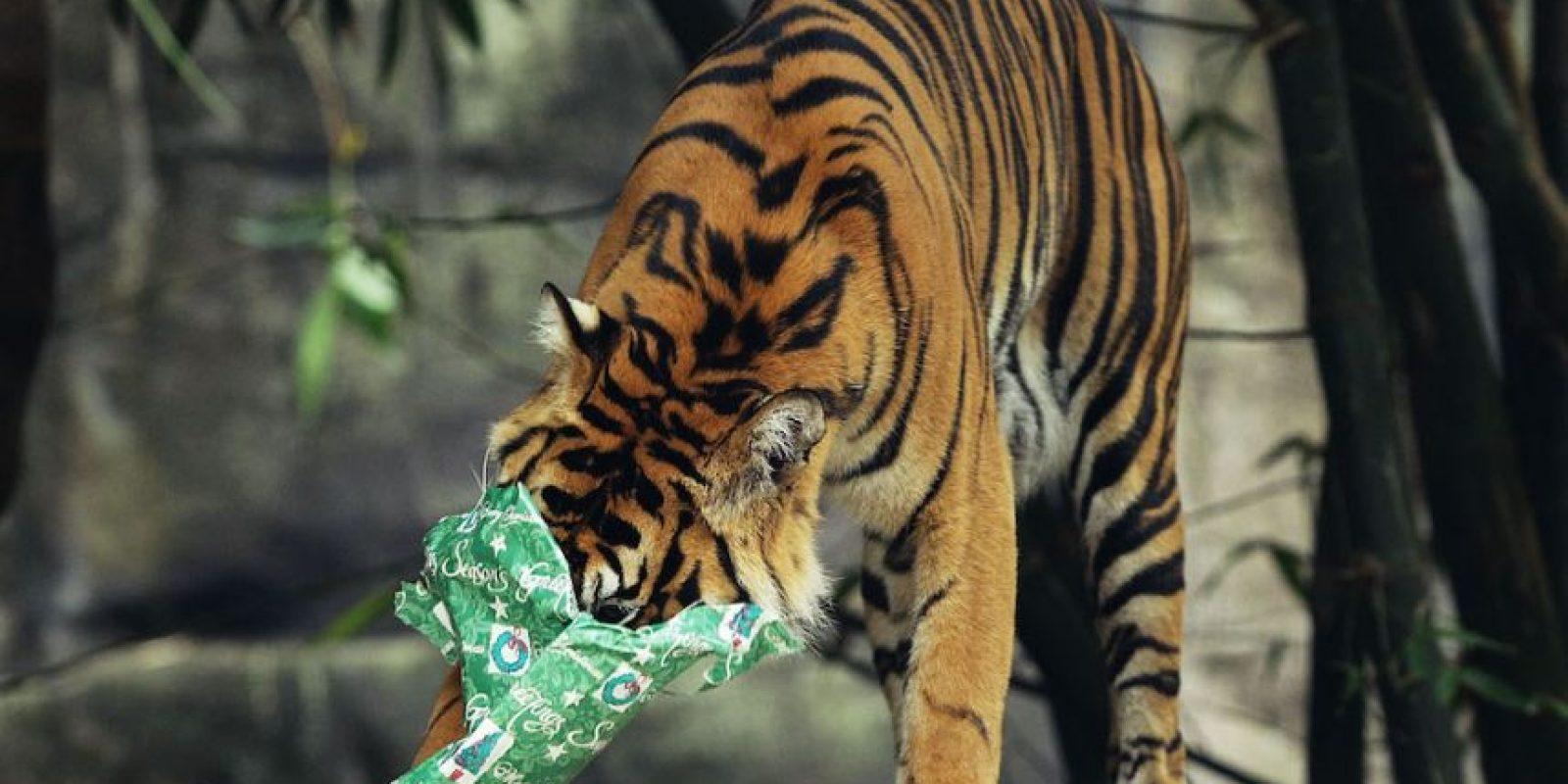 Fueron: el tigre de Bali, el de Caspio y el de Java. Foto: Getty Images