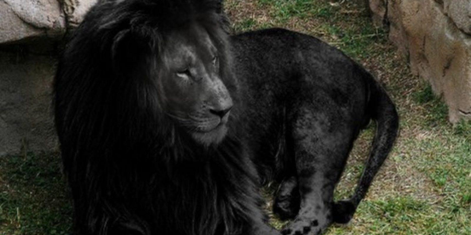 "No hay leones negros en el mundo. Según informó ""The Museum of Hoaxes"", es pura obra del Photoshop. Foto:The Museum of Hoax"