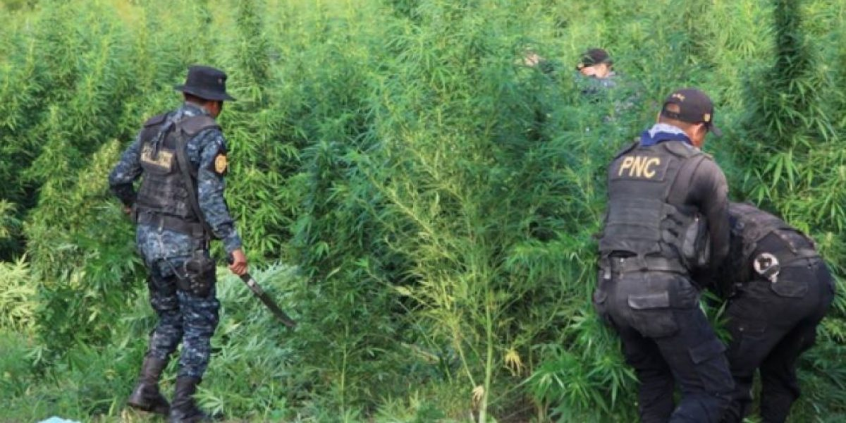Esta es la cantidad de marihuana erradicada en una operación en Petén