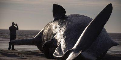 Una teoría muy extendida es que el fluido, que se endurece en forma de cera cuando se enfría, ayuda a la ballena a modificar su flotabilidad para sumergirse a gran profundidad y volver a subir. Foto:Getty Images