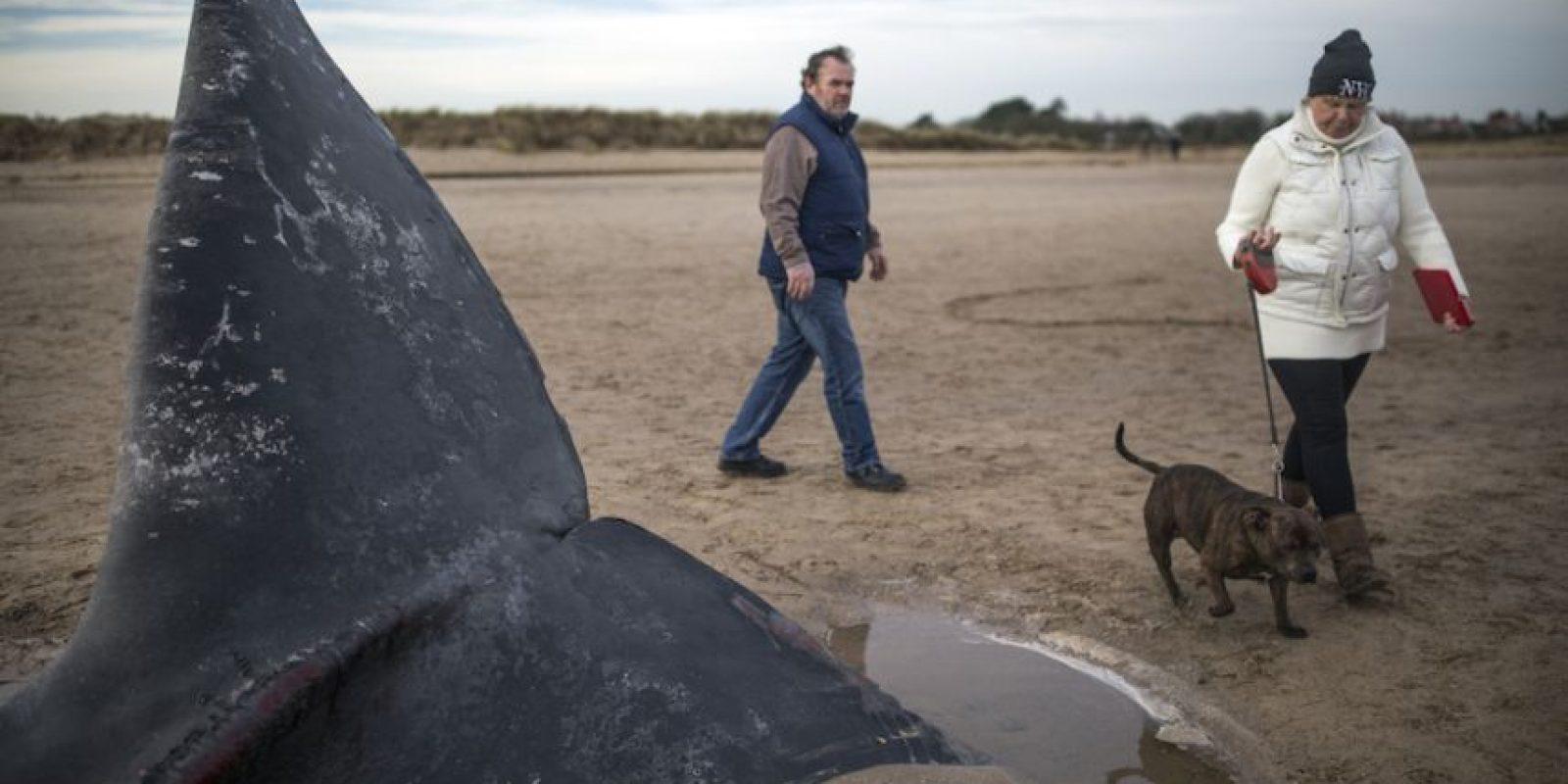 Estas ballenas dentadas pueden comer casi una tonelada de peces y calamares al día. Foto:Getty Images