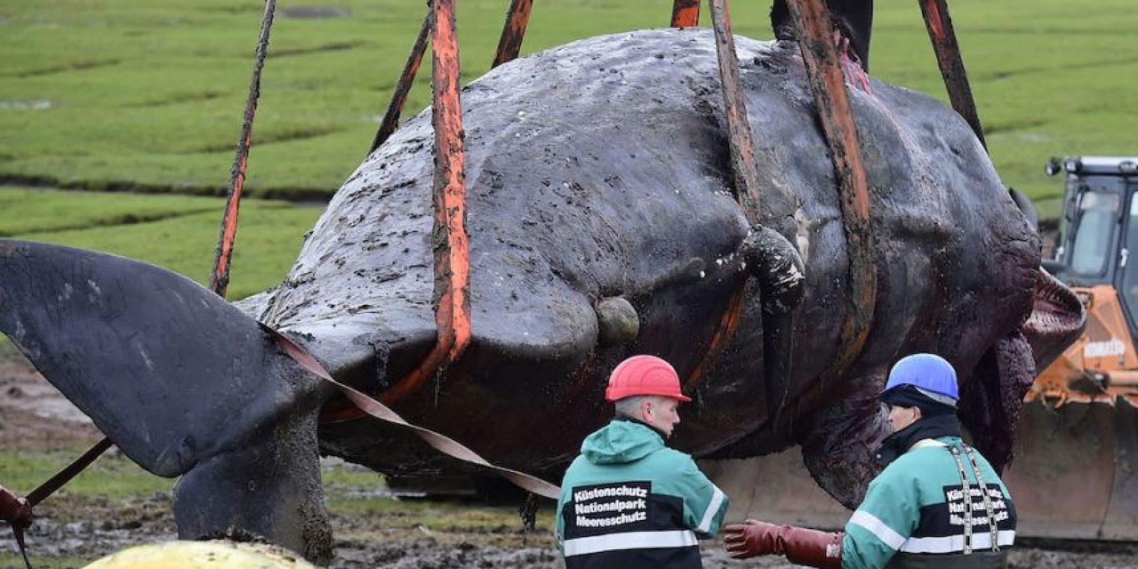 Datos que deben conocer de los cachalotes Foto:Getty Images