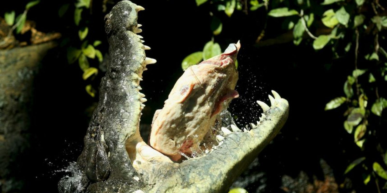 El registro del cocodrilo más grande capturado era de 4,27 metros (14 pies, 3 y media pulgadas) de largo, en el lago Washington. Foto:Getty Images