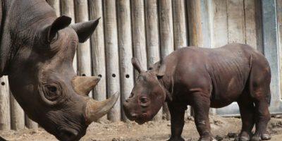 Es el animal terrestre más grande, después del elefante y el hipopótamo. Foto:Getty Images