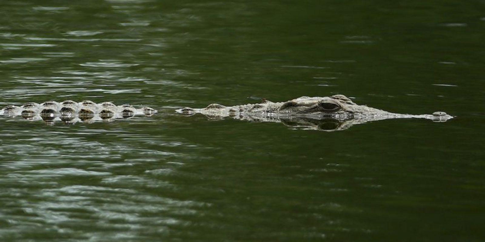 Viven comunmente en ambientes de agua dulce. Foto:Getty Images