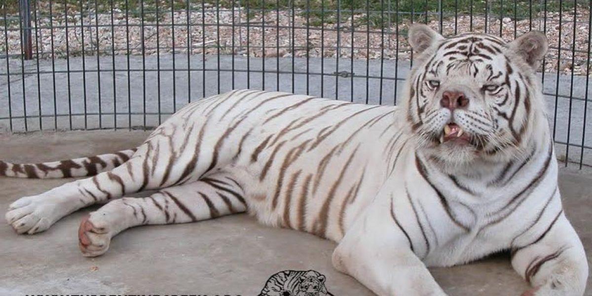 Conozca por qué piden detener la crianza de tigres blancos