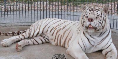 Datos que deben conocer sobre los tigres blancos Foto:Turpetine Creek Wildlife Refuge