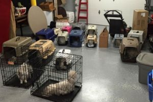 Una mujer que se dedicaba a vender gatos mantenía dentro de una habitación 17 gatos en condiciones horribles. Foto:facebook.com/josephslegacyrescue