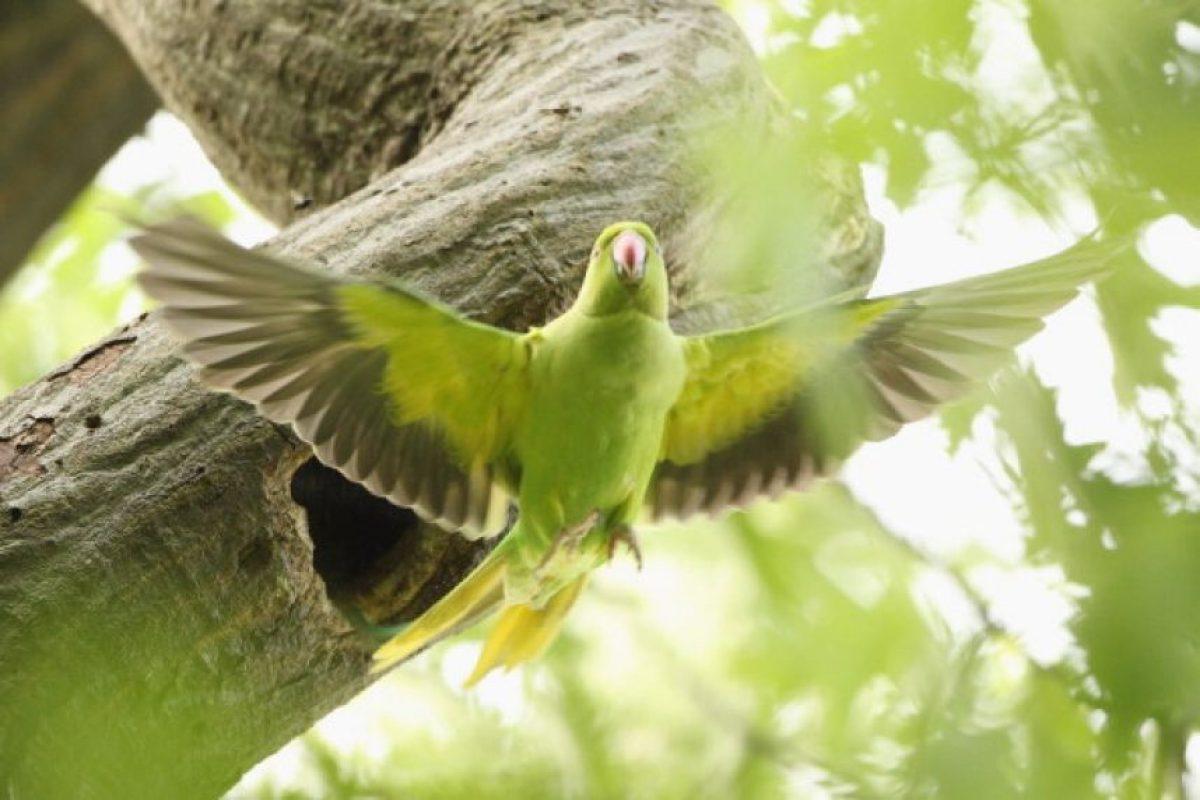 Son uno de los grupos de aves mas inteligentes y además tienen una gran capacidad craneal. Foto:Getty Images