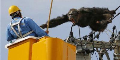 Capturan a chimpancé tras escaparse de un zoológico en Japón